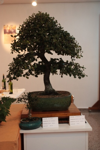 Bonsai Carrasca - Vicente Solbes - Muro Bonsai - Assoc. Bonsai Muro