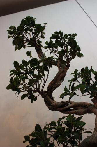 Bonsai Ficus compacta de cerca - Bonsai Elche - Assoc. Bonsai Muro