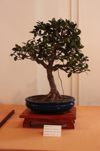 Bonsai Ficus Robustifolia - Club Bonsai Elx - Assoc. Bonsai Muro