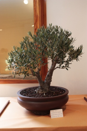 Bonsai Bonsai Olivo de Francisco Agulló - Assoc. Bonsai Muro