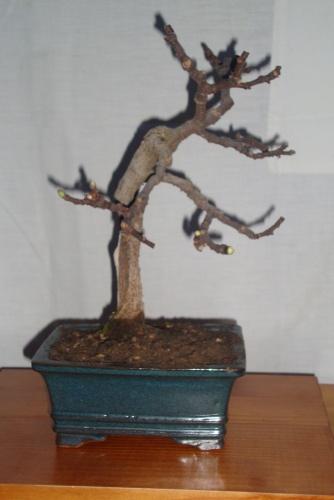 Bonsai higuera-2 ficus carica - javel