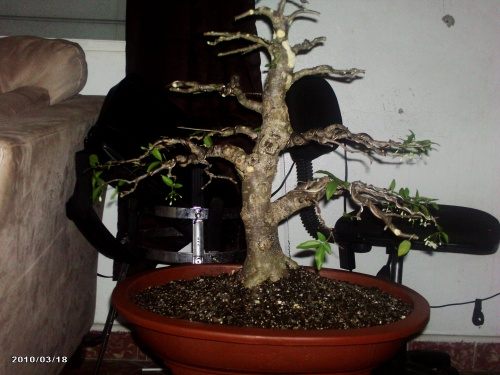 Bonsai Wrigthia Religiosa - Jazmin de agua - junny
