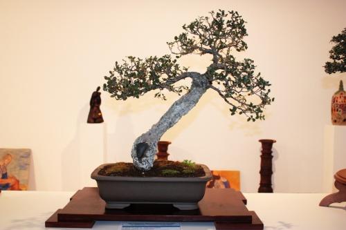 Bonsai 4911 - torrevejense