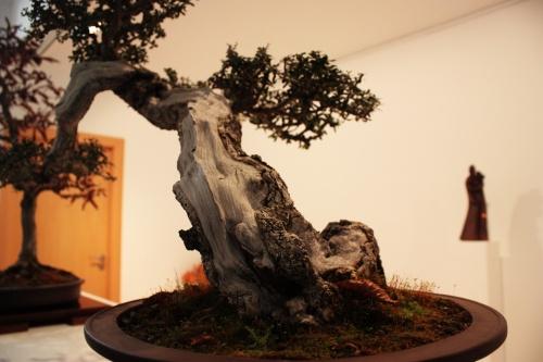 Bonsai Nebari - Acebuche de Wenceslao - torrevejense