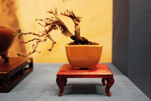 Bonsai 5011 - torrevejense