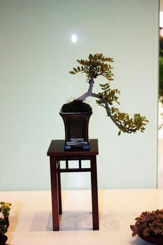 Bonsai Pistacia lentisco - Estilo Semicascada - Jose Gomez del Rio - torrevejense