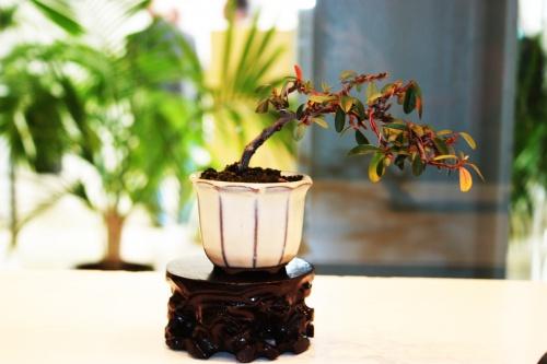 Bonsai Cotoneaster horizontalis de Jose Gomez del Rio - torrevejense