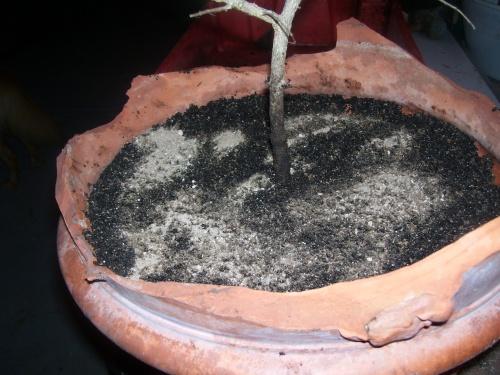 Bonsai Granado esqueje del 2007  9 - SARRUT
