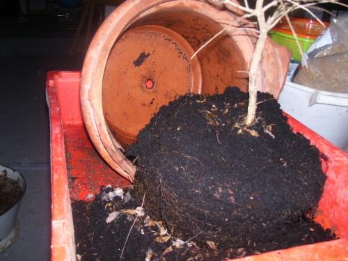 Bonsai Granado esqueje del 2007 trasplante  10 - SARRUT