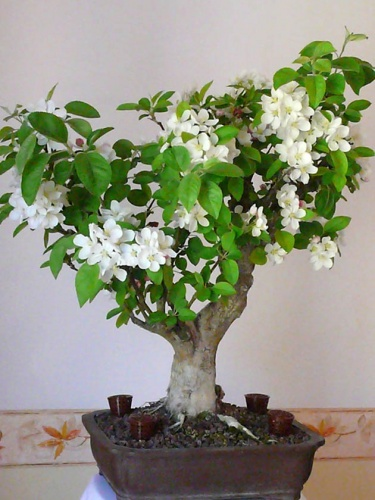 Bonsai MALUS-MANZANO - enric batllori