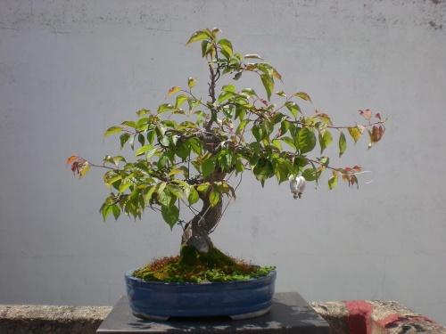 Prunus mume-2