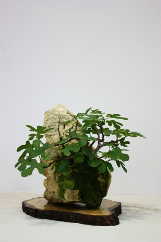 Bonsai Ficus Carica - Higuera de Miguel March - Mutxamel 2010 - CBALICANTE