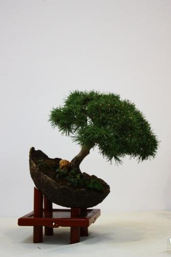 "Bonsai Pino - Pinus Mugho ""Mops"" - CBALICANTE"