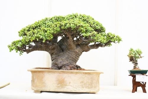 Бонсаи из денежного дерева как сделать фото