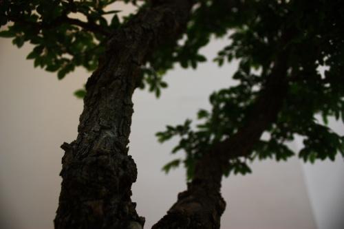 Bonsai 5487 - CBALICANTE
