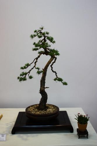 Bonsai Pino Rojo - Pinus Sylvestris - Fernando Gambin 2010 - CBALICANTE