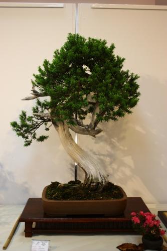 Bonsai Taxus Baccata - Fco Garica Pavia 2010 - CBALICANTE