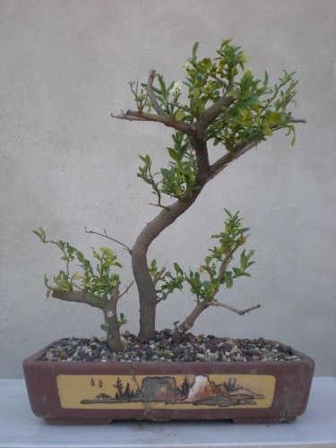 Bonsai Solano - Salva