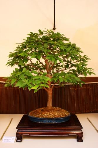 Bonsai Stewartia Monoadelpha - Amigos del Bonsai Lorca