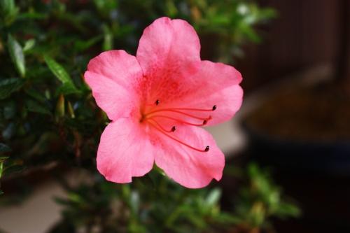 Bonsai Flor de Rododendro Chinzan - Amigos del Bonsai Lorca