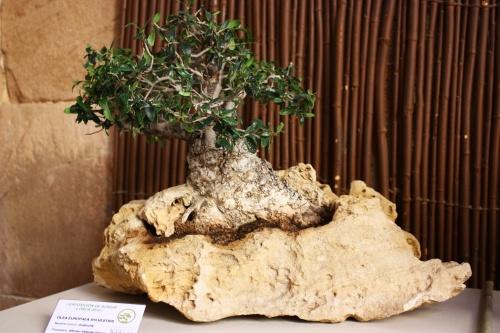 Bonsai Olea Europaea Sylvestris sobre Roca - Alonso Valiente Gomez - Amigos del Bonsai Lorca