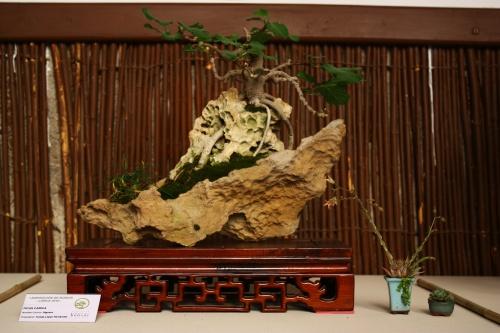 Bonsai Ficus Carica - Higuera sobre Roca - Tomas Lopez Hernandez - Amigos del Bonsai Lorca