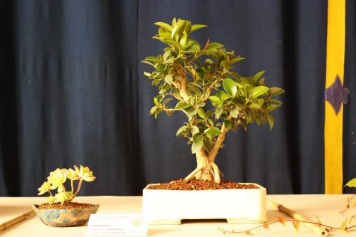 Bonsai Ficus Retusa o de Indias - Jose Guerao Navarro - Amigos Bonsai Lorca 2010 - Amigos del Bonsai Lorca