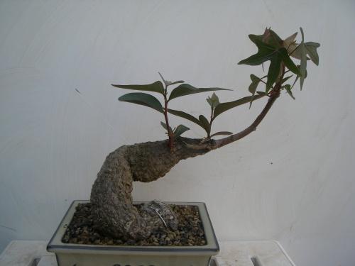 Bonsai 5855 - mihogo