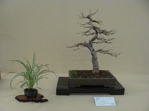 Bonsai Arce burgeniano - Vila-real