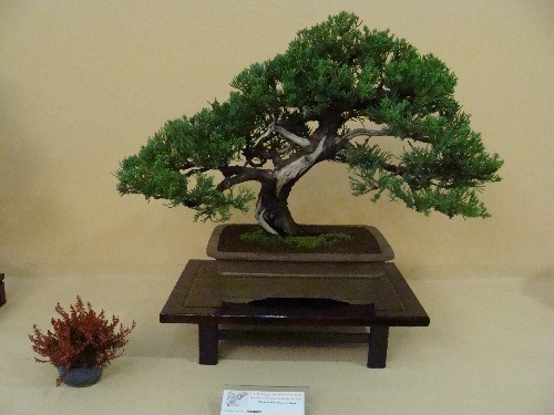 Bonsai Sabina - Vila-real