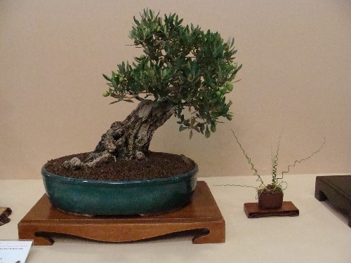 Bonsai Olivo - Vila-real