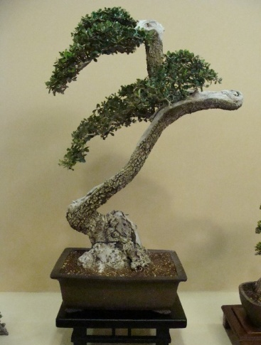 Bonsai Ullastre - Vila-real