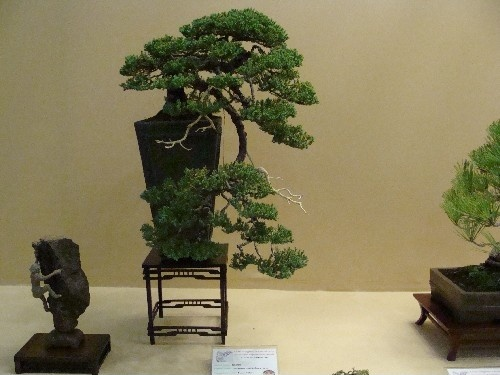 Bonsai Junipero procumbes - Vila-real