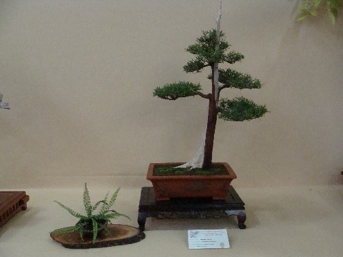 Bonsai Sabina negra - Vila-real