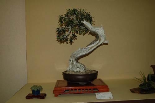 Bonsai 7055 - aebonsai