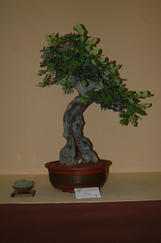 Bonsai 7059 - aebonsai