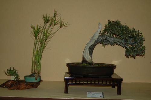 Bonsai 7083 - aebonsai
