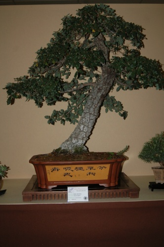 Bonsai 7087 - aebonsai