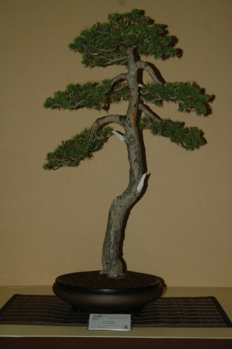 Bonsai 7091 - aebonsai