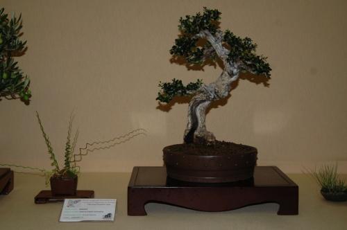 Bonsai 7095 - aebonsai