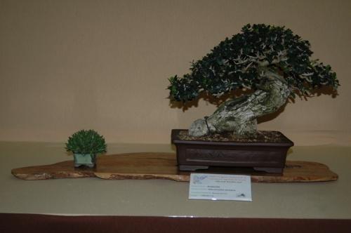 Bonsai 7103 - aebonsai
