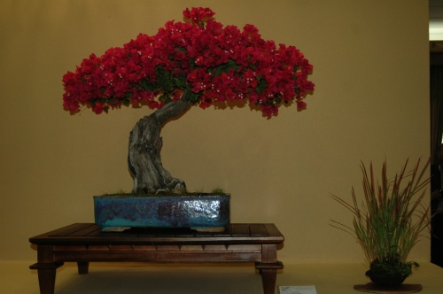 Bonsai Buganvilla, Bougainvillea, Francisco Gomez - aebonsai