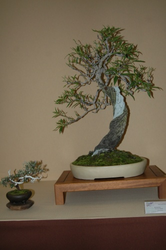 Bonsai Almendro, Bonsaizen - aebonsai
