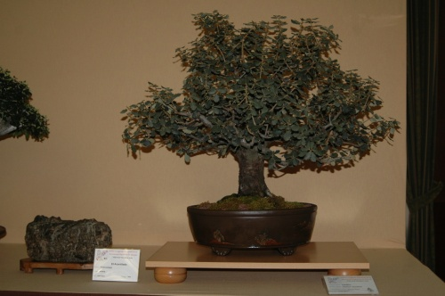 Bonsai Carrasca de Antonio Palop - aebonsai