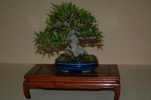 Bonsai Ficus regularis nerifolia de Manuel Diaz - aebonsai