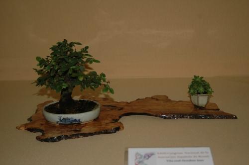 Bonsai Zelcova de Manuel Diaz - Ulmus Parvifolia - aebonsai