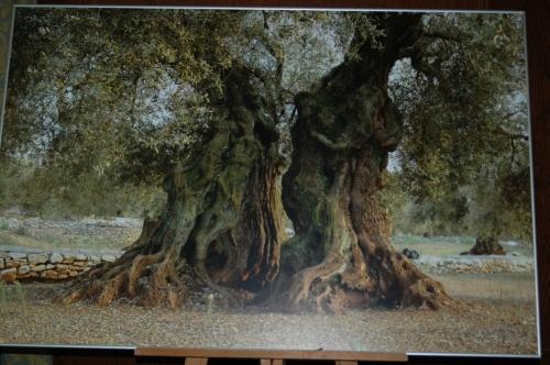 Bonsai Panel de Olivo centenario - aebonsai