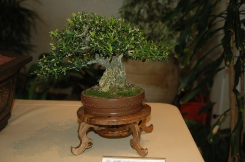 Bonsai Buxus Sempervirens - Juan Mas - aebonsai