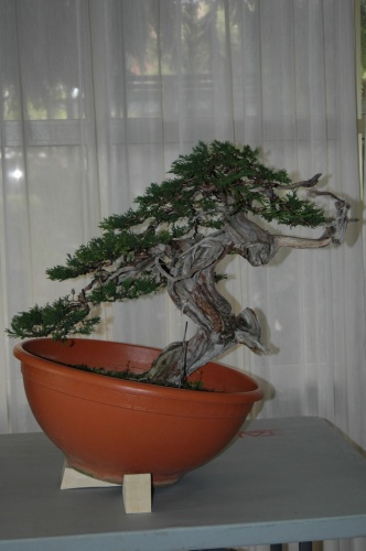 Bonsai 7243 - aebonsai