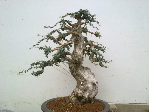 Bonsai Ullastre - Tino Blasco